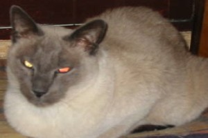 Chat siamois blue-point aux yeux rouge et jaune